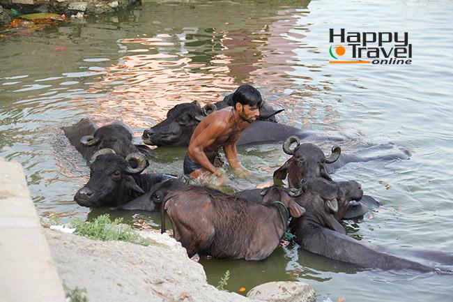 Remojando los bufalos en el rio