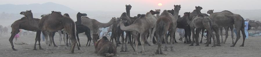 Camellos durante la Feria de Pushkar