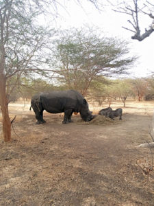 Pequeños rinocerontes