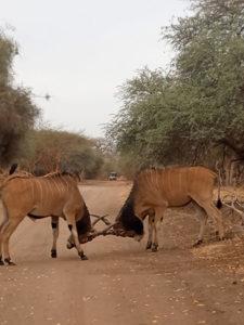 Animales peleando en la Reserva de Bandia