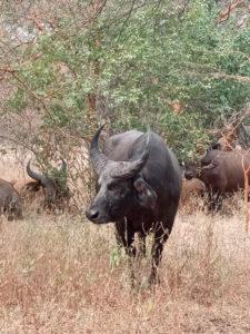 Búfalos en Bandía