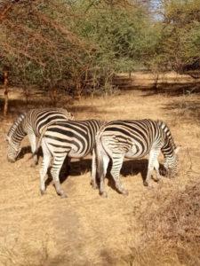 Cebras en la Reserva de Bandia